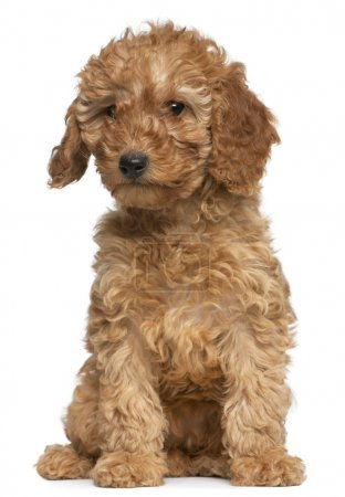 Photo for Poodle puppy, 2 months old, sitting in front of white background - Royalty Free Image