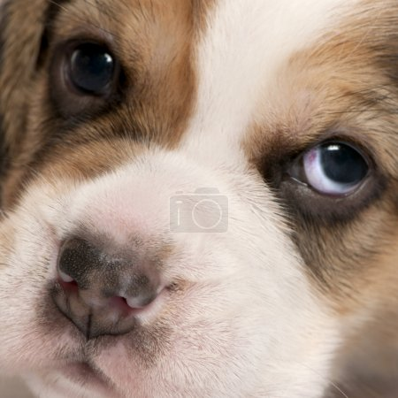 Close-up of Beagle puppy, 4 weeks old