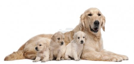 Golden Retriever mother, 5 years old, and her pupp...