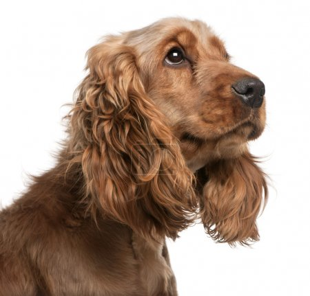 English Cocker Spaniel, 2 years old, in front of white background