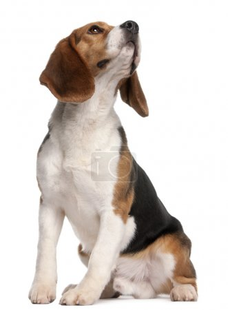 Beagle, 1 year old, sitting and looking up in front of white background