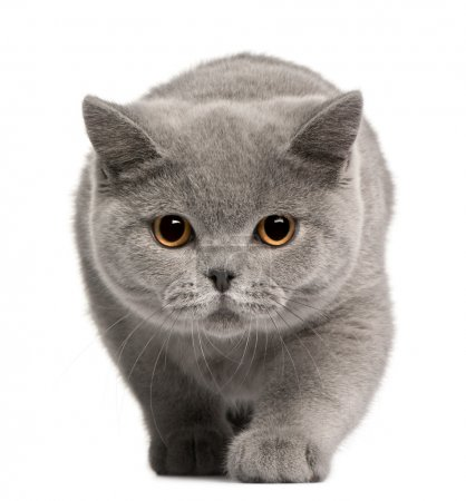 Photo pour Chaton British shorthair, 4 mois, en face de fond blanc - image libre de droit