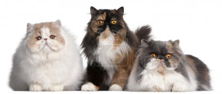 Persian cats in front of white background