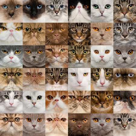 Photo pour Collage de 36 têtes de chat - image libre de droit