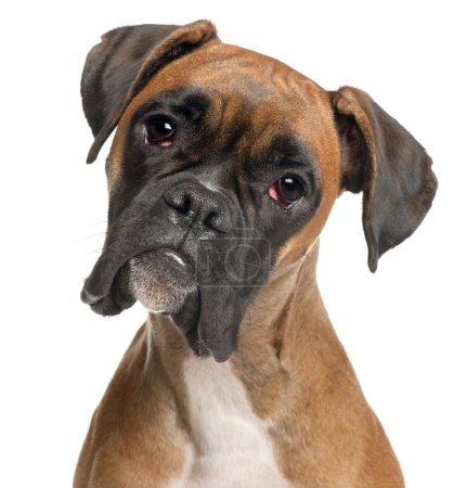 Photo pour Gros plan de Boxer, 12 mois, devant fond blanc - image libre de droit