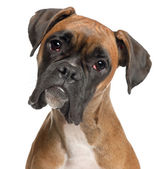 Close-up of Boxer, 12 months old, in front of white background