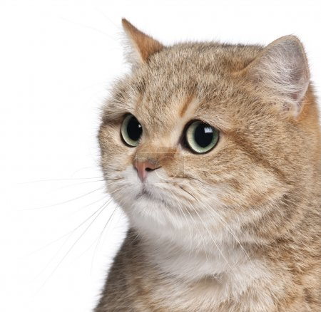 Close-up of British Shorthair cat, 2 years old, in front of whit