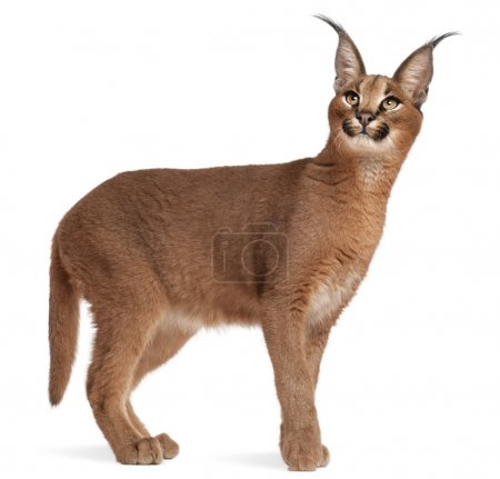 Photo for Caracal, Caracal caracal, 6 months old, in front of white background - Royalty Free Image
