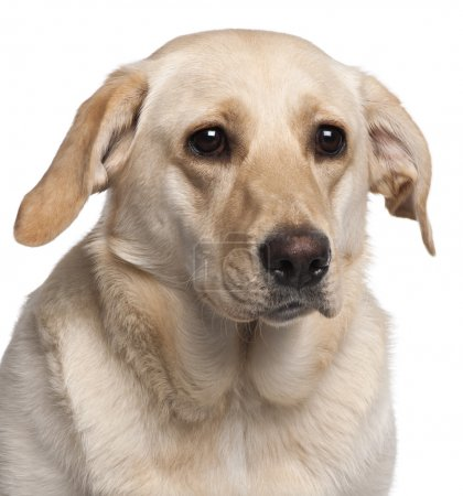 Close-up of Labrador Retriever, 11 months old, in front of white background