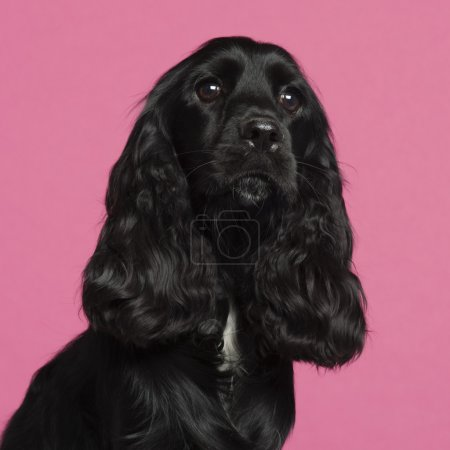 Close-up of English Cocker Spaniel in front of pink background