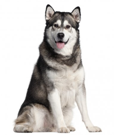 Alaskan Malamute, 2 years old, sitting in front of white background