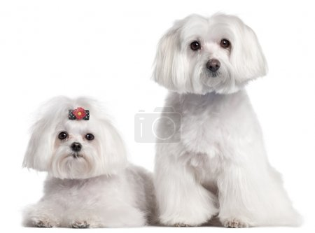 Maltese, 3 and 7 years old, in front of white background