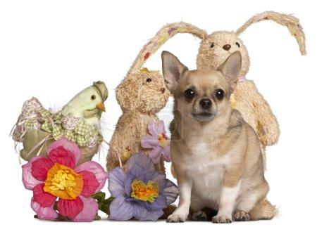 Photo pour Chihuahua assis avec des animaux en peluche de Pâques devant fond blanc - image libre de droit