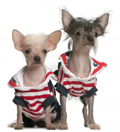 Chinese Crested puppy, 4 months old, and Chinese Crested Dog, 4 years old, dressed in red white and blue in front of white background