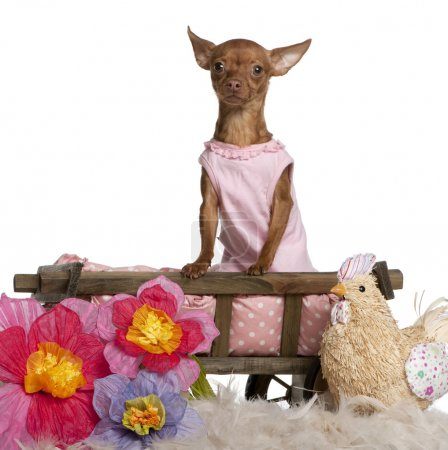Chihuahua in pink dress, 11 months old, sitting in dog bed wagon with stuffed chicken and flowers in front of white background
