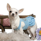 Chihuahua, 1 year old, wearing blue striped dress and standing in front of dog bed wagon and white background