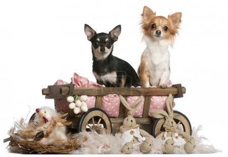 Chihuahuas, 14 months old, sitting in dog bed wagon with Easter stuffed animals in front of white background