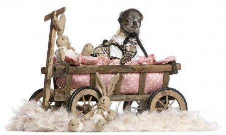 Photo pour Habillé Chihuahua assis dans un chariot de lit pour chien avec des animaux en peluche de Pâques en face de fond blanc - image libre de droit