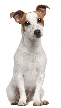 Photo pour Jack Russell Terrier, 10 mois, assis devant fond blanc - image libre de droit