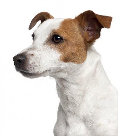 Photo pour Gros plan de Jack Russell Terrier, 10 mois, devant fond blanc - image libre de droit