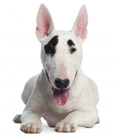 Bull Terrier puppy, 6 months old, lying in front of white background
