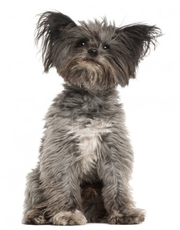 Photo for Mixed-breed dog, 7 years old, sitting in front of white background - Royalty Free Image