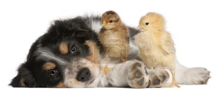 Border Collie puppy, 6 weeks old, playing with chicks
