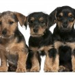 Mixed breed puppies, 8 weeks old, in front of whit...