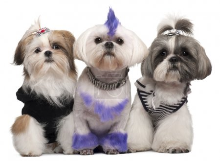 Three Shih Tzus dressed up, 2 years old, 5 months old, and 6 yea