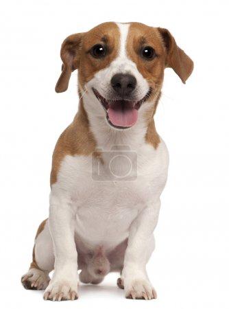 Photo pour Jack Russell Terrier, 1 an, assis devant fond blanc - image libre de droit