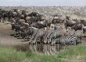 Zebras drinking at the Serengeti National Park, Tanzania, Africa