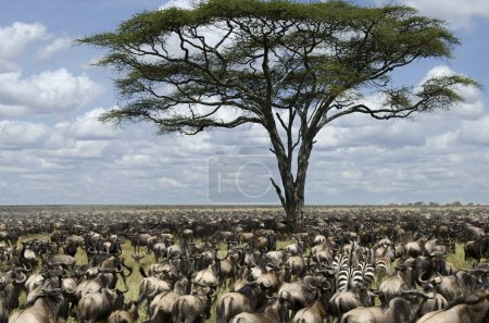Herd of wildebeest migrating in Serengeti National Park, Tanzania, Africa