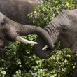 Young elephants eating in Serengeti National Park,...