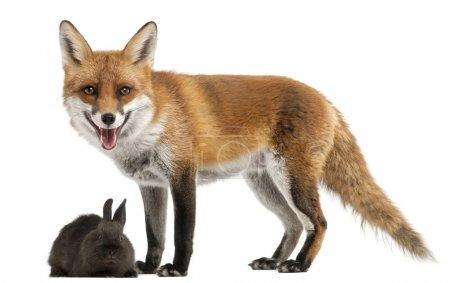 Photo pour Le renard roux, vulpes vulpes, 4 ans, jouant avec un lapin en face de fond blanc - image libre de droit
