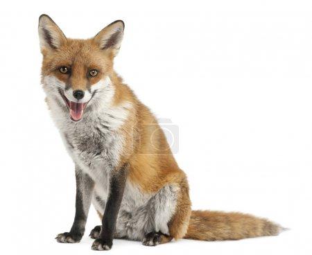 Photo pour Le renard roux, vulpes vulpes, 4 ans, en face de fond blanc - image libre de droit