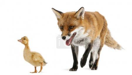 Photo pour Le renard roux, vulpes vulpes, 4 ans, jouant avec un canard domestique devant fond blanc - image libre de droit
