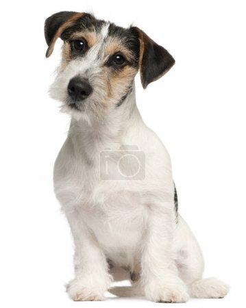 Photo pour Chiot Jack Russell Terrier, 5 mois, assis devant fond blanc - image libre de droit