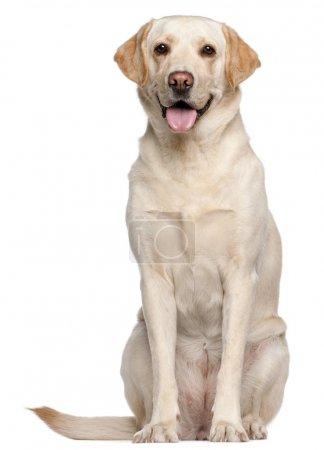 Photo pour Labrador retriever, 4 ans, assis devant un fond blanc - image libre de droit