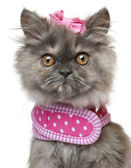 Close-up of Persian kitten dressed in pink, 3 months old, in front of white background