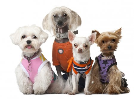 Group of dressed dogs in front of white background