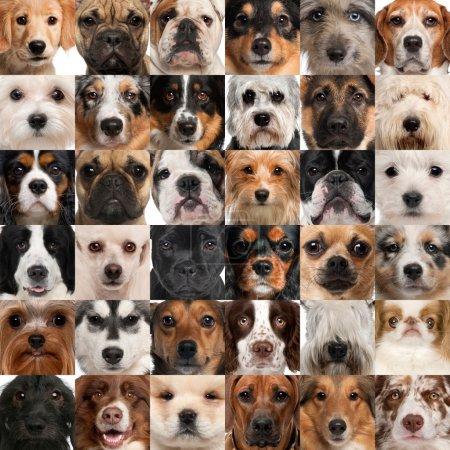 Photo pour Collage de 36 têtes de chien - image libre de droit