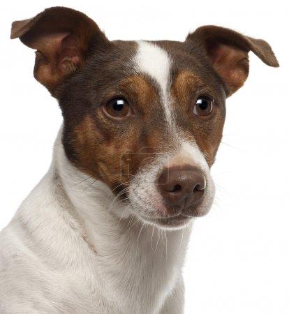 Photo pour Gros plan de Jack Russell Terrier, 3 ans, devant fond blanc - image libre de droit