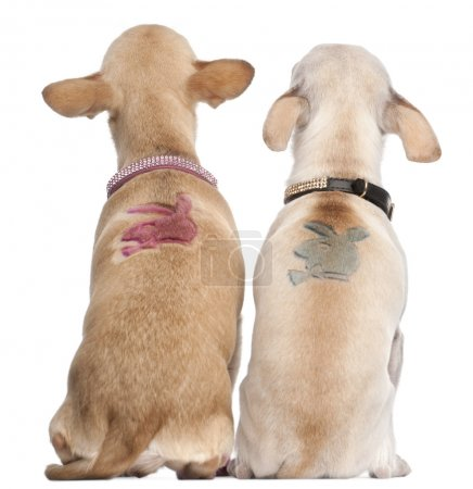 Two Chihuahuas with Playboy bunny on backs, 2 years old and 11 months old, sitting in front of white background