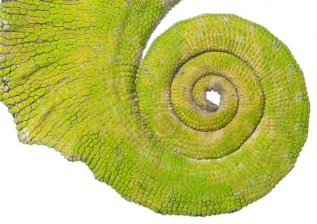Rolled up tail of a Four-horned Chameleon, Chamaeleo quadricornis, in front of white background