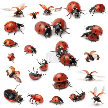 Collection of Seven-spot ladybirds, Coccinella septempunctata, in front of white background
