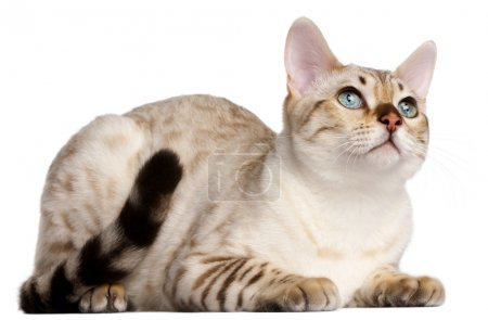 Bengal cat, 6 months old, lying in front of white background