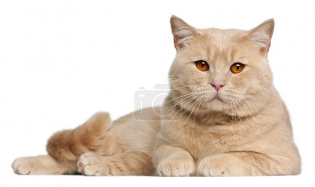 Photo for British Shorthair cats, 1 year old, lying in front of white background - Royalty Free Image