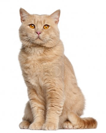 Photo pour Chat British shorthair, 1 an, assis en face de fond blanc - image libre de droit