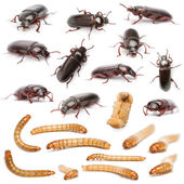 Lifecycle of a Mealworm composition, Tenebrio molitor, in front of white background