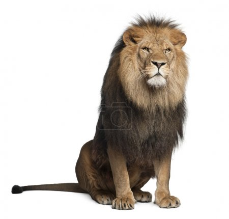 Photo for Lion, Panthera leo, 8 years old, sitting in front of white background - Royalty Free Image